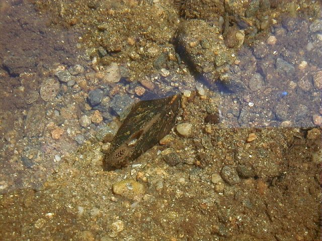 Dwarf wedgemussel on river bottom. Image from Wikipedia.