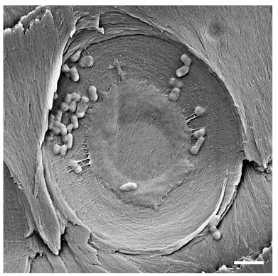 Figure 23. SEM image of E. coli trapped in the pit membrane of the xylem after filtration. Scale bar in bottom right is 2 microns.