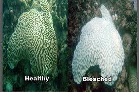 Before and After photos of healthy vs. bleached coral